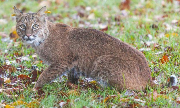 Virtual program on bobcats set for Monday