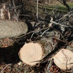Ash trees being removed in Goshen