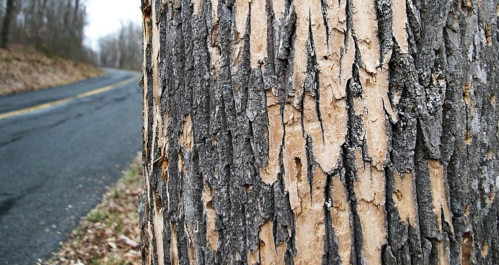 Selectmen's budget targets tree removal